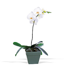Phalaenopsis Orchid Plant From Black Tie Valet of Beverly Hills, CA