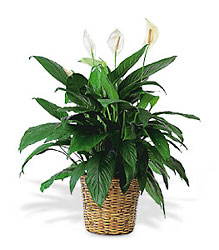 Large Spathiphyllum Plant From Black Tie Valet of Beverly Hills, CA