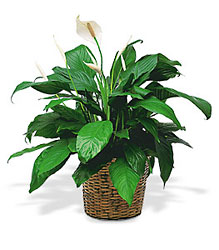 Medium Spathiphyllum Plant From Black Tie Valet of Beverly Hills, CA