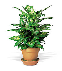Dieffenbachia From Black Tie Valet of Beverly Hills, CA